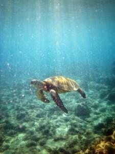 Swimming Hawaiian Green Sea Turtle