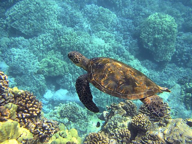 Swimming with Honu (Hawaiian Sea Turtles)